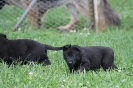 Beauty and Oscars very stunning solid black puppies